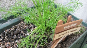 家庭菜園:カモミール