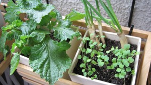 家庭菜園:シソ