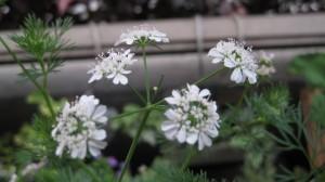 コリアンダーの花1