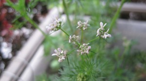 コリアンダーの花2