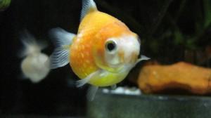 オレンジピンポン1